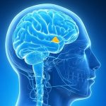 1-hypothalamus